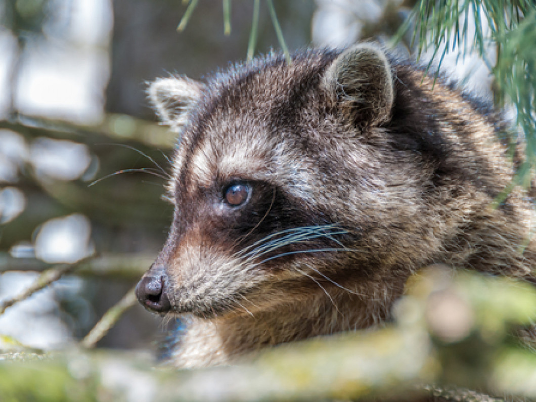 Homestead Wildlife Solutions Offers Professional Raccoon Removal Services throughout the Ridge, Rocky Point, Wading River, Sound Beach, Miller Place and The Central Suffolk County area in NY