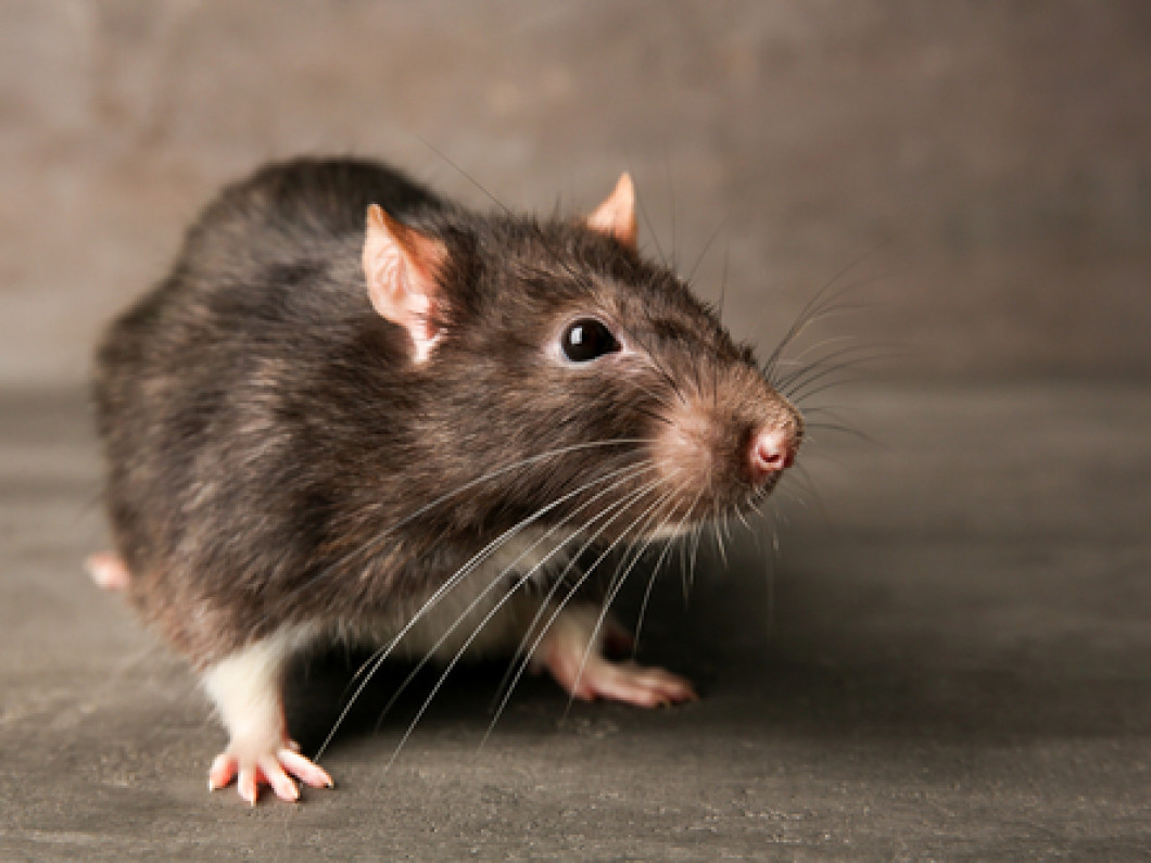 Are you living with rats?